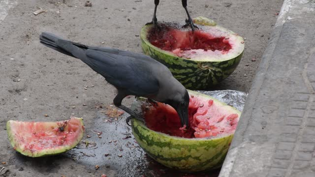 april 09: crows are seen eating discarded watermelon in the street in on april 09, 2021 in dhaka, bangladesh. - animal wing stock videos & royalty-free footage