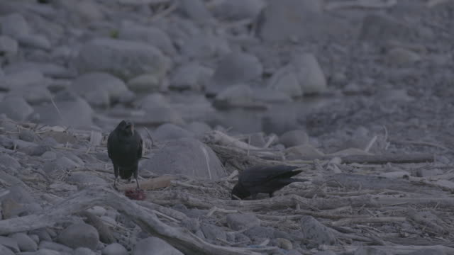 crows eating off the fish scraps left by bear, shiretoko, japan - 砂利点の映像素材/bロール