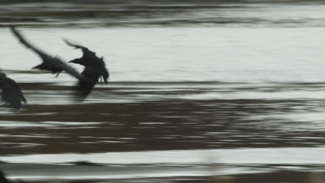 crows land on riverbank and eat dead salmon, alaska, 2009 - elster stock-videos und b-roll-filmmaterial