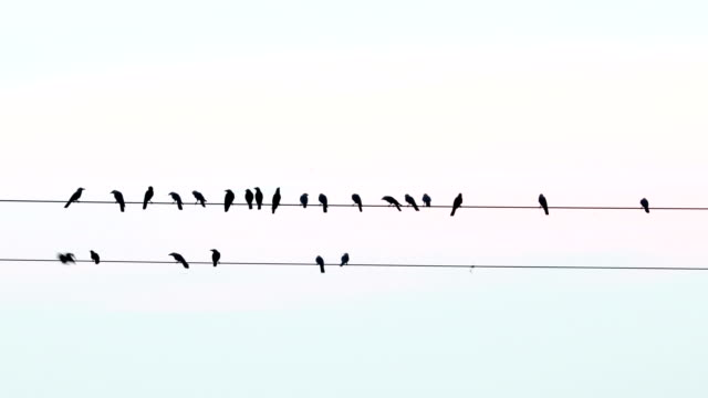 crows on electric wire - crow stock videos & royalty-free footage