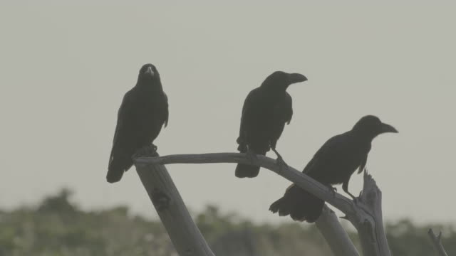 crows on the tree of shiretoko, japan - limb body part stock videos & royalty-free footage