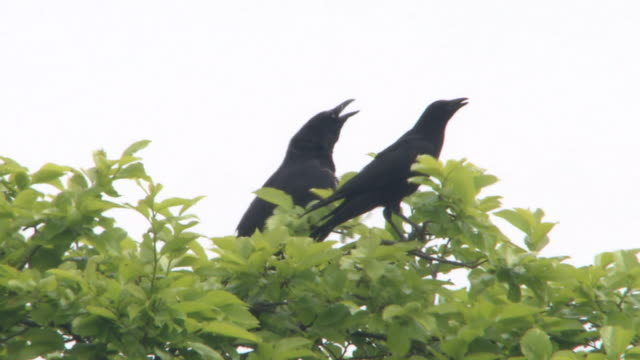 crows perch on a tree - crow stock videos & royalty-free footage