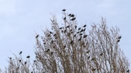 crows perching on the poplars, the happiness of the birds standing on the poplar tree,