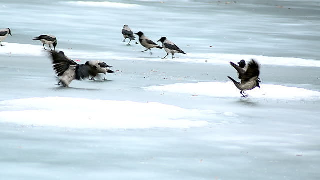 crows playing in snow - perching stock videos & royalty-free footage
