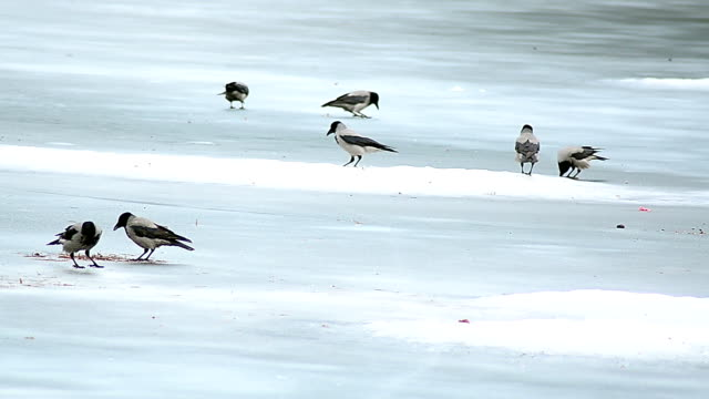 Crows playing in snow