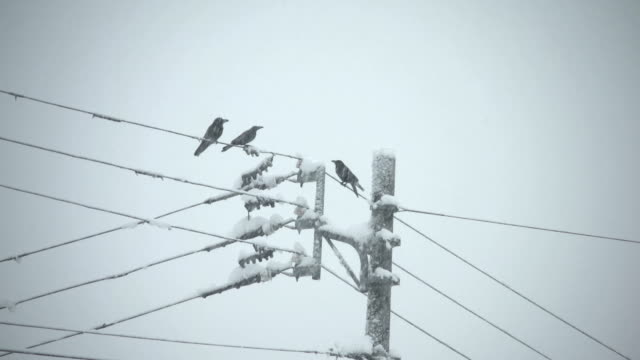 Crows sit on power lines as sever thunder snowstorm hits Niigata prefecture Japan