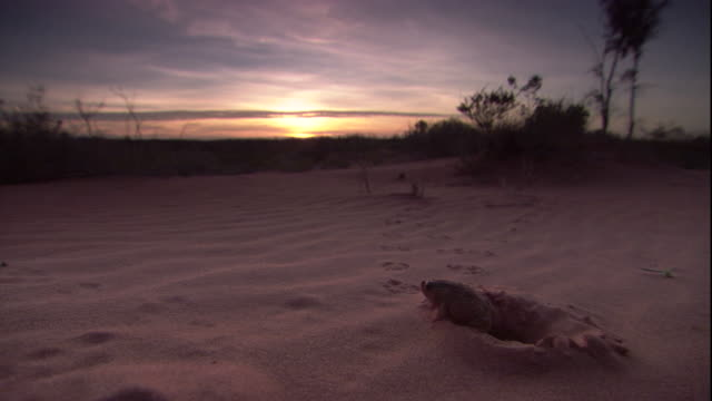 a crucifix frog emerge from its burrow at sunset, new south wales. available in hd. - burrow stock videos & royalty-free footage