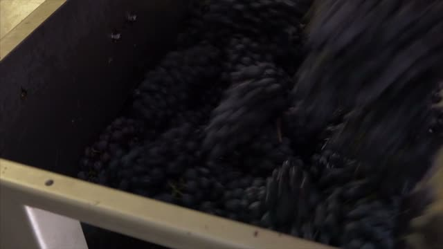 crush grapes in harvest - picking harvesting stock videos and b-roll footage