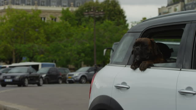 cu mini car driving with boxer dog leaning out of rear window - boxer dog stock videos and b-roll footage
