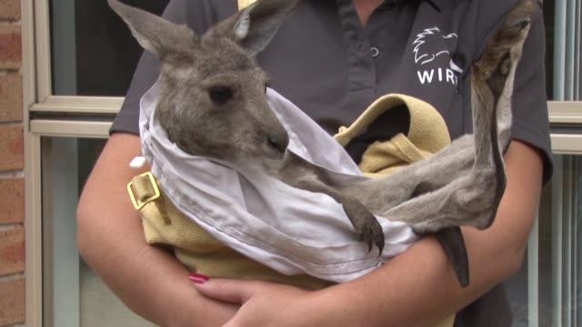cuando la voluntaria sarah price encontro un bebe canguro asustado pero milagrosamente vivo en la bolsa de su madre moribunda en medio de los... - luck stock videos & royalty-free footage