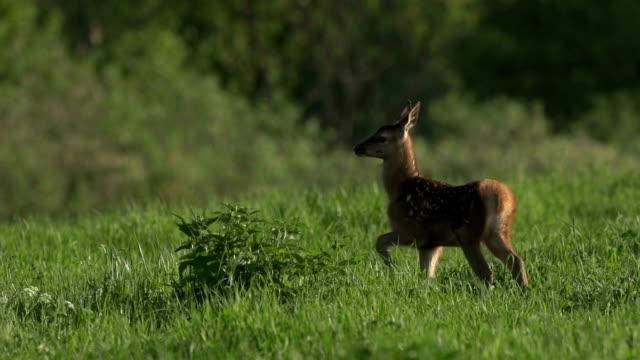 Cub of Red Deer