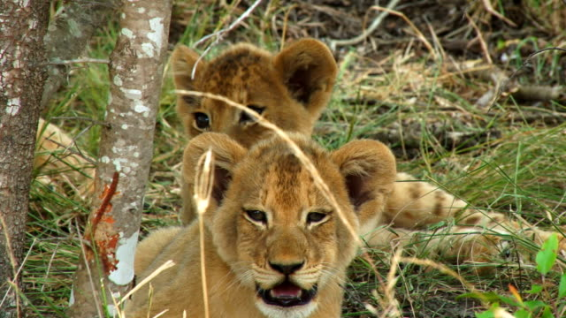 cub panting in shade/ kruger national park/ south africa - panting stock videos & royalty-free footage