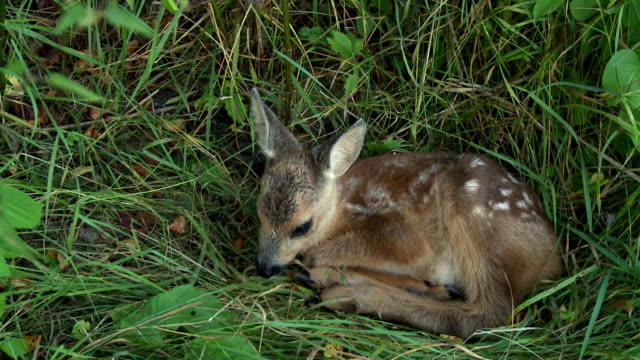 cub roe deer - fawn stock videos & royalty-free footage