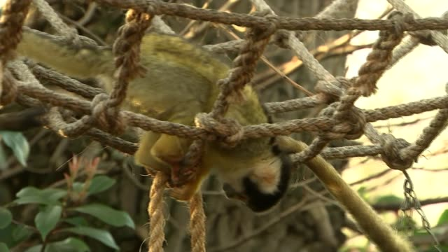cub scouts begin 100th anniversary year with a visit to london zoo close shot squirrel monkeys in enclosure - cub scouts stock videos and b-roll footage