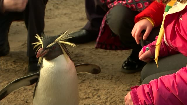 cub scouts begin 100th anniversary year with a visit to london zoo close shot penguin in enclosure - cub scouts stock videos and b-roll footage