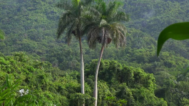 cuba, beauty in nature amid lush vegetation - tropical tree stock videos & royalty-free footage