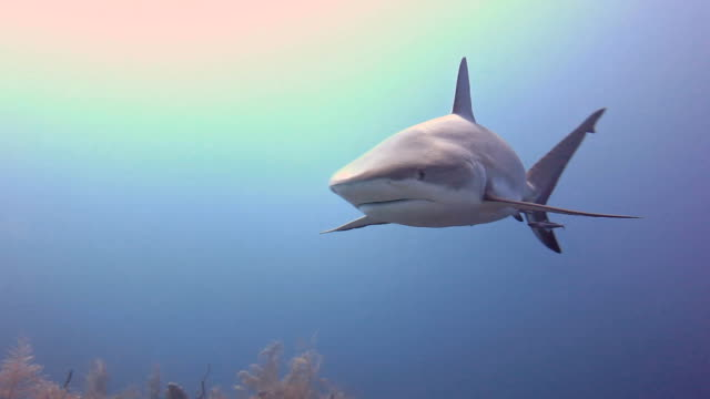 cuba, caribbean reef shark - shark stock videos & royalty-free footage