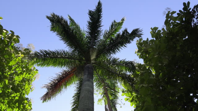 cuba: royal palm or roystonea regia - royal blue stock videos & royalty-free footage
