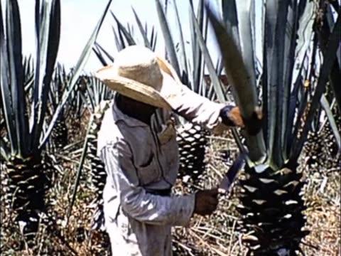 vídeos y material grabado en eventos de stock de 1955 cuba - sisal harvesting - oficio agrícola