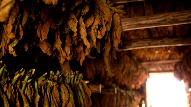 Cuba: Travel : Tobacco leaves in the Vinales Valley