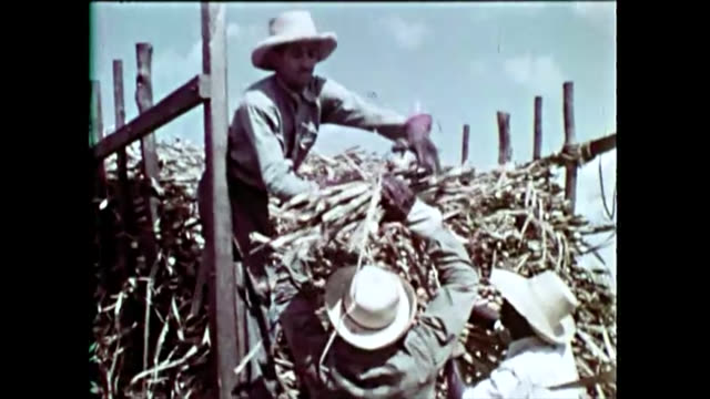 vidéos et rushes de the image shows cuban people or laborers cutting sugar cane. then, they help get it on a truck for transportation to the sugar mill or 'central'. the... - sugar cane