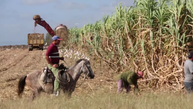cuban agricultural workers in field harvesting sugarcane crops overseer wtaching from horseback combine harvester at work in background crops fed... - recreational horseback riding stock videos and b-roll footage