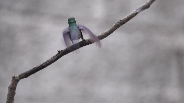 cuban bee hummingbird or 'zunzun' perching and leaving a small branch - threatened species stock videos & royalty-free footage