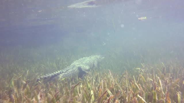 cuban crocodile in the mangroves. - crocodile stock videos & royalty-free footage
