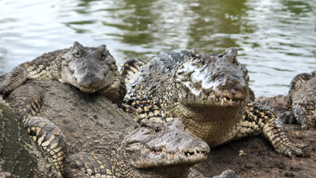 Cuban Crocodiles are hungry