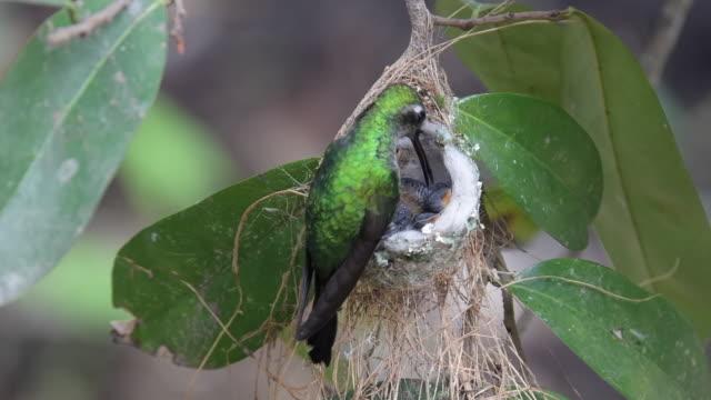 cuban emerald hummingbird in the nest - feeding stock videos & royalty-free footage