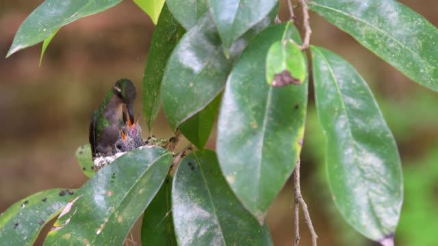 cuban emerald hummingbird with young birds in the nest - kolibri stock-videos und b-roll-filmmaterial