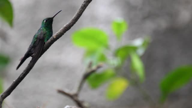 vídeos de stock e filmes b-roll de cuban hummingbird or zunzun perched in small branch of an orange tree-santa clara, cuba - bico