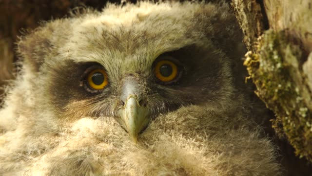 cubs of blakiston's fish owl (bubo blakistoni) kunashir island - animal eye stock videos & royalty-free footage