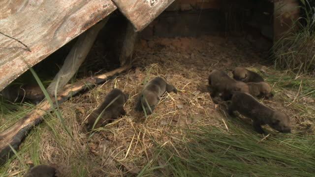 vidéos et rushes de oursons de loups - terrier création animale