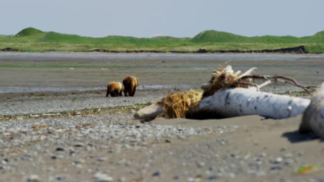 cubs with brown bear katmai national park alaska - alaska stato usa video stock e b–roll