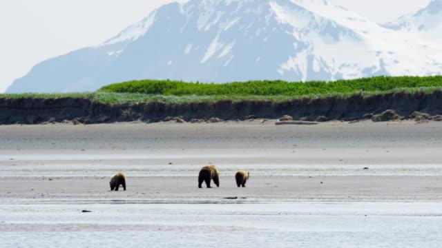 cubs with brown bear katmai national park katmai - alaska stato usa video stock e b–roll