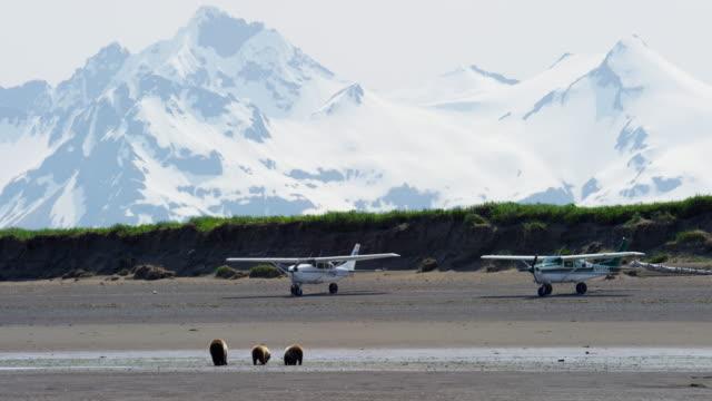 cubs with mother brown bear beach plane airstrip - alaska stato usa video stock e b–roll