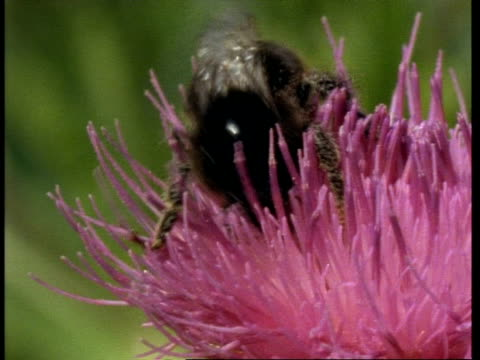 CU Cuckoo bee crawling through petals of pink thistle flower