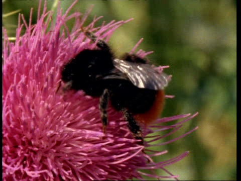 vídeos de stock, filmes e b-roll de cuckoo bee on pink thistle flower - invertebrado