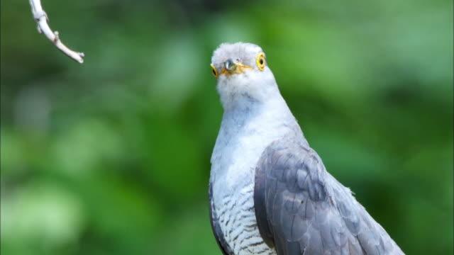 cuckoo bird looking around at odaesan mountain - cuckoo stock videos and b-roll footage