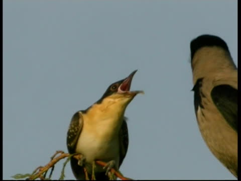 cu cuckoo chick calling for food from hooded crow parent, israel - foster care stock videos & royalty-free footage