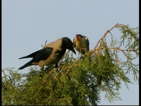 ms cuckoo chick in tree top calling for food, hooded crow feeds it, israel - foster care stock videos & royalty-free footage
