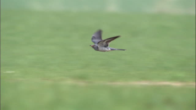cuckoo in flight over steppe, inner mongolia, china - cuckoo stock videos and b-roll footage