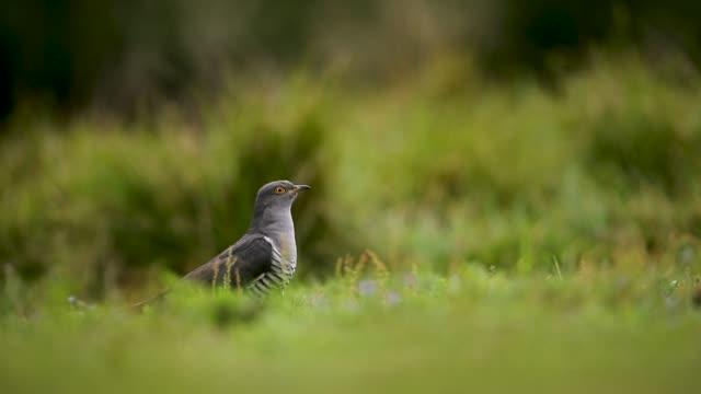 cuckoo in woodland - cuckoo stock videos and b-roll footage