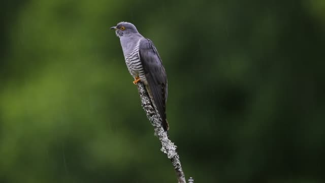 cuckoo in woodland - 30 seconds or greater stock videos & royalty-free footage