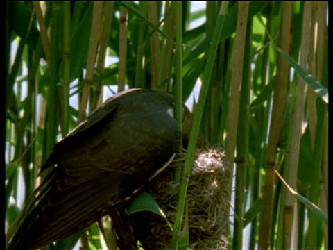 cuckoo removes an egg from a reed warblers nest and lays a replacement, uk - cuckoo stock videos and b-roll footage