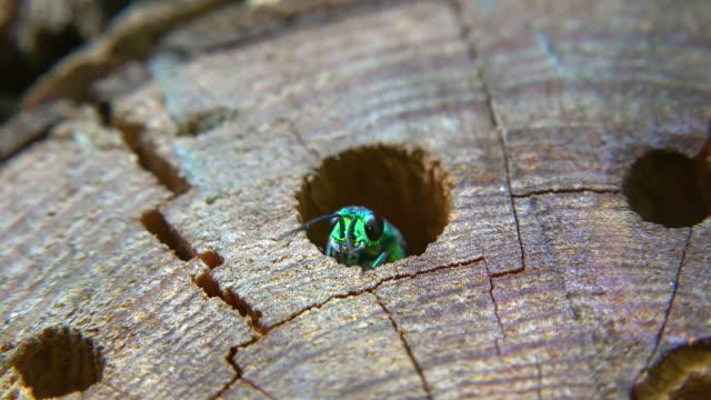 cuckoo wasp (chrysididae) parasitically hatching in potter wasp's (euodynerus dantici) brood chamber - wood grain stock videos & royalty-free footage