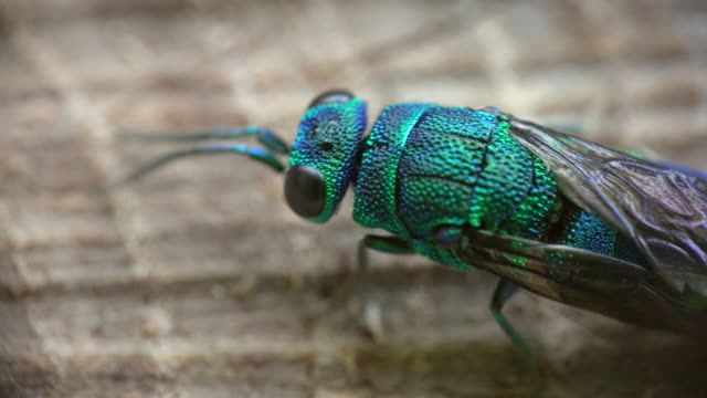 stockvideo's en b-roll-footage met cuckoo wasp (chrysididae) - documentairebeeld