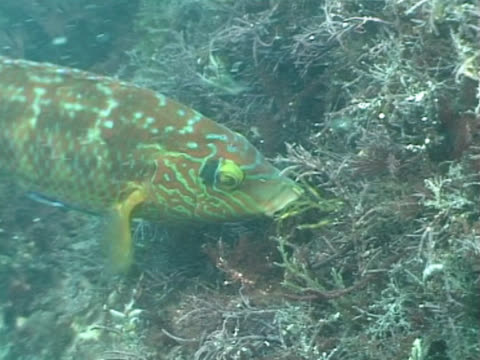 CU cuckoo wrasse bringing back nest material. Channel Island, UK