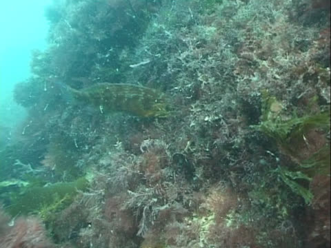 MS cuckoo wrasse bringing back nest material. Channel Island, UK